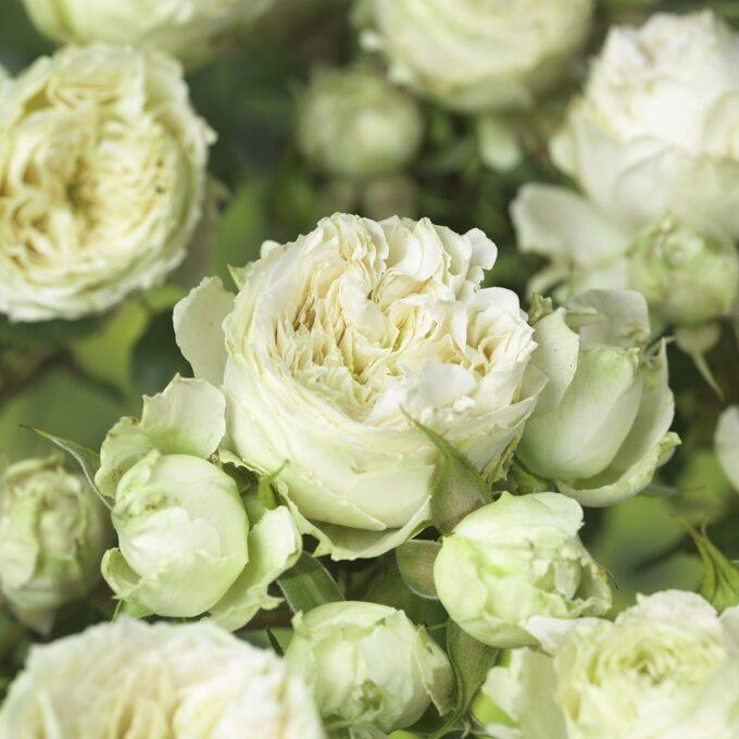 Klaserose 'Escimo Flower Circus'