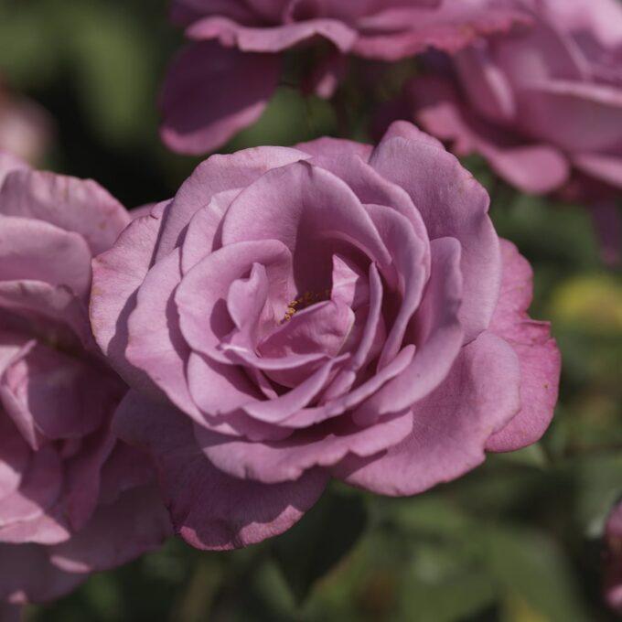 Klaserose 'Lavender Flower Circus'