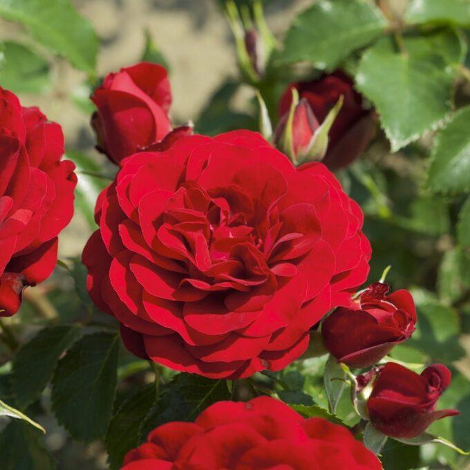 Klaserose 'Tiamo Flower Circus'