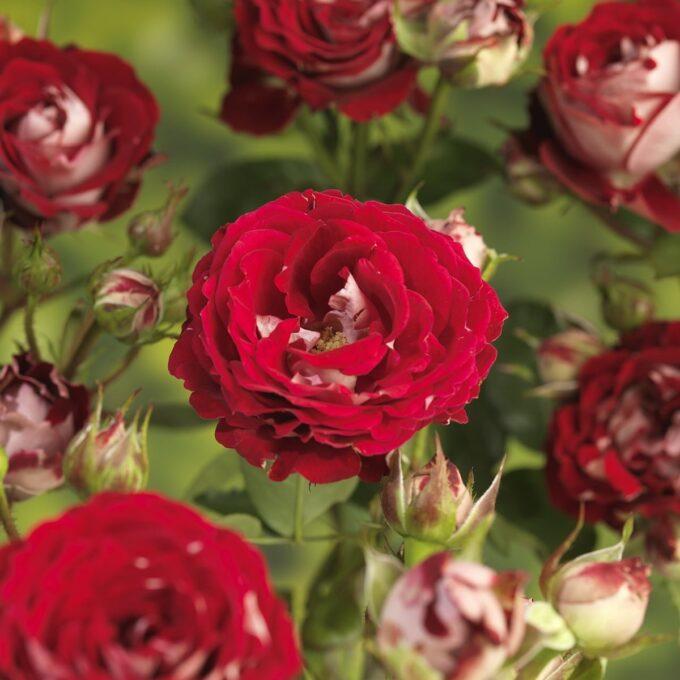 Klaserose 'Twin Flower Circus'