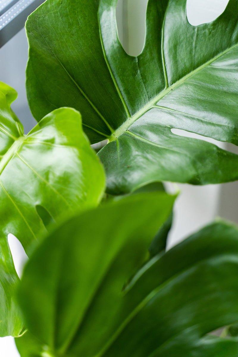 Monstera vindusblad, er blant de mest populære grønne inneplantene Hageland har. Trender veldig på Instagram