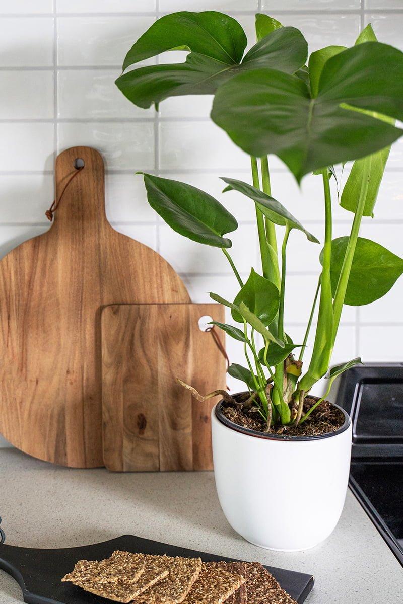 monstera vindusblad i hvit potte på kjøkkenet