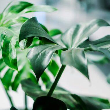 Monstera deliciosa, eller vindusblad, er blant de mest populære grønne inneplantene Hageland har. Trender veldig på Instagram