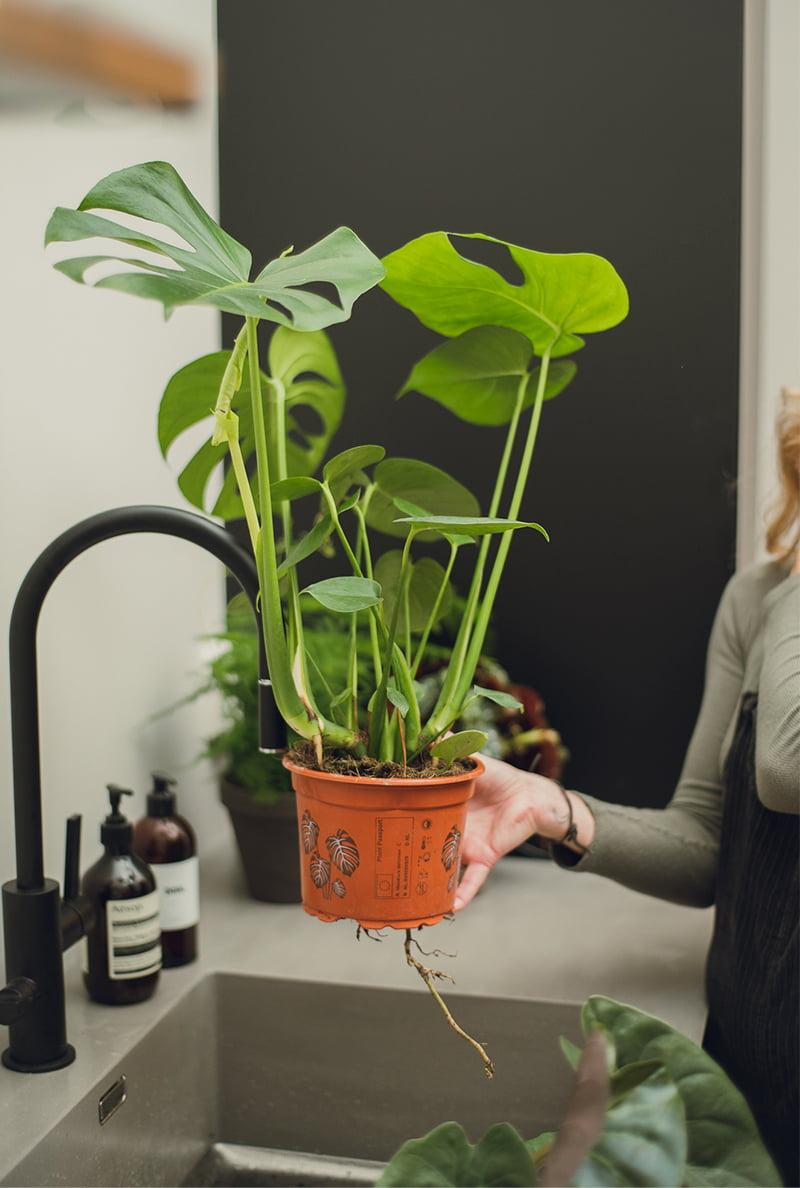 Gi bladene og luftrøttene en god dusj noen ganger i uken. En sprayflaske ved planten, og du husker på det når du går forbi