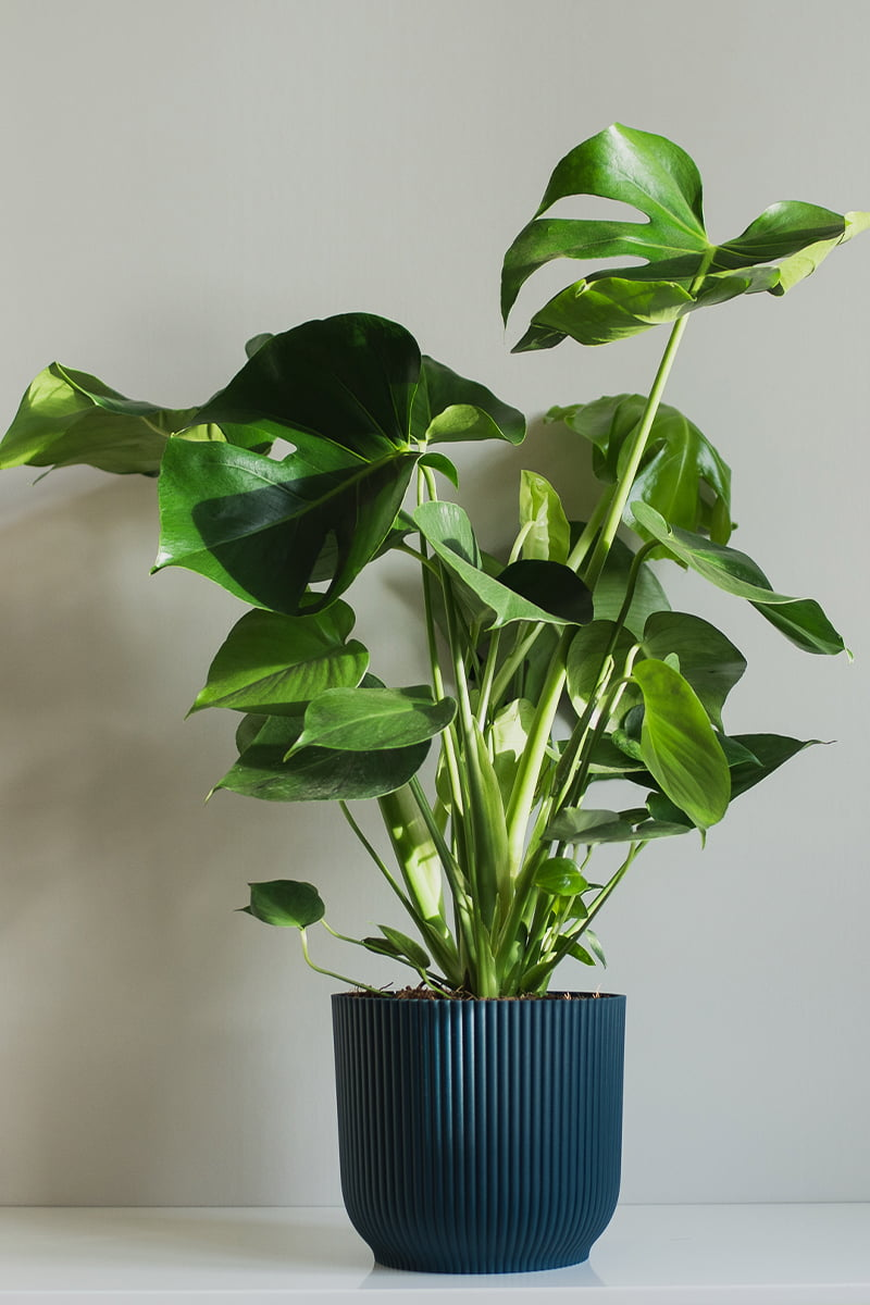 monstera vindusblad i potte sort