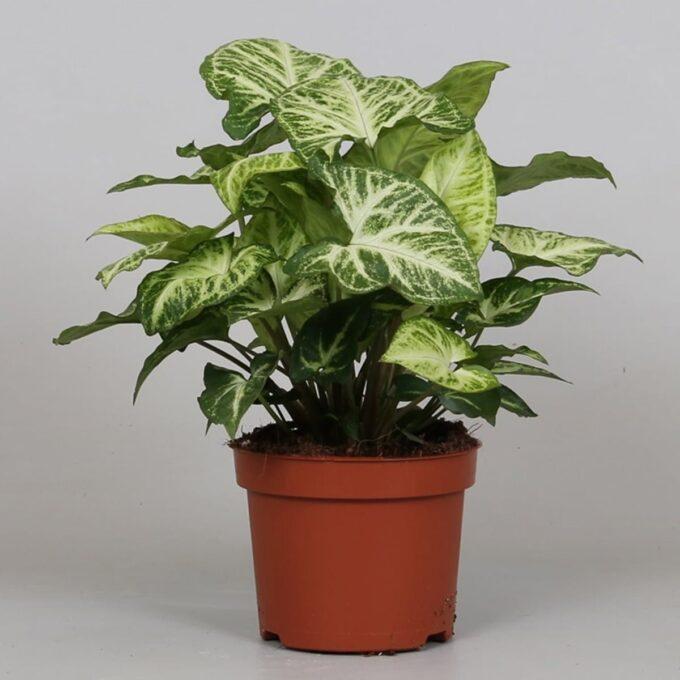 Gåsefotsyngonium 'Arrow' 12 cm potte