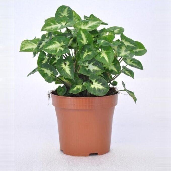 Gåsefotsyngonium 'Pixie' 12 cm potte