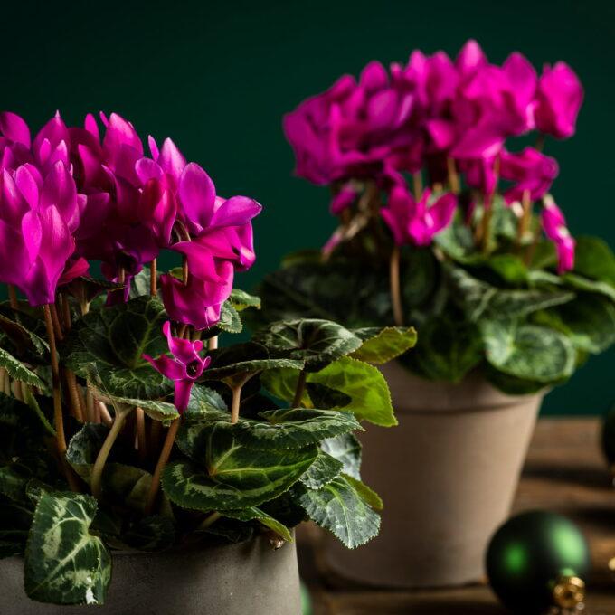Alpefiol liker å stå lyst ikke for varmt, visne blader og blomster fjernes mye vann unngå vann på skål Gjødsles