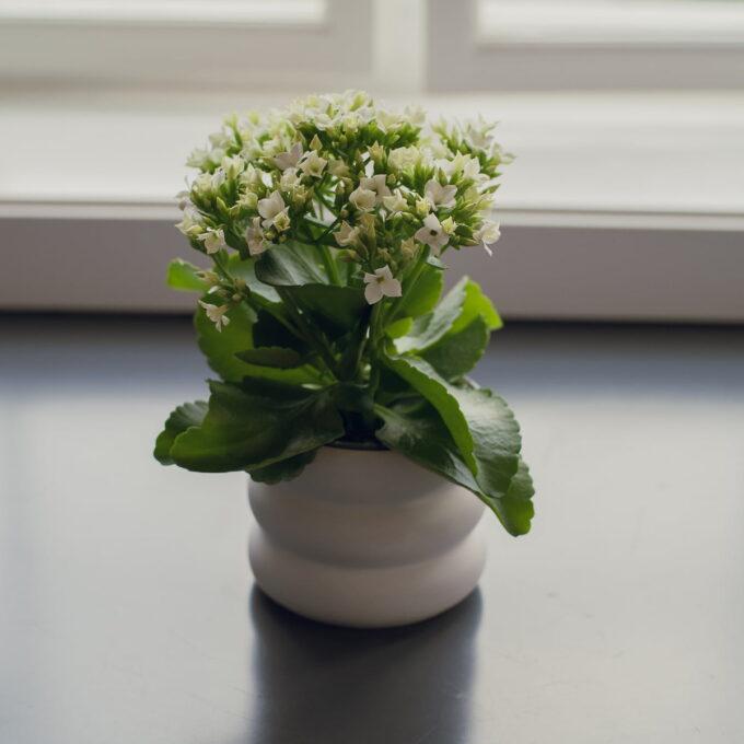 Ildtopp er en av våre mest brukte potteplanter svært lettstelt om den får godt med lys men ikke direkte sollys