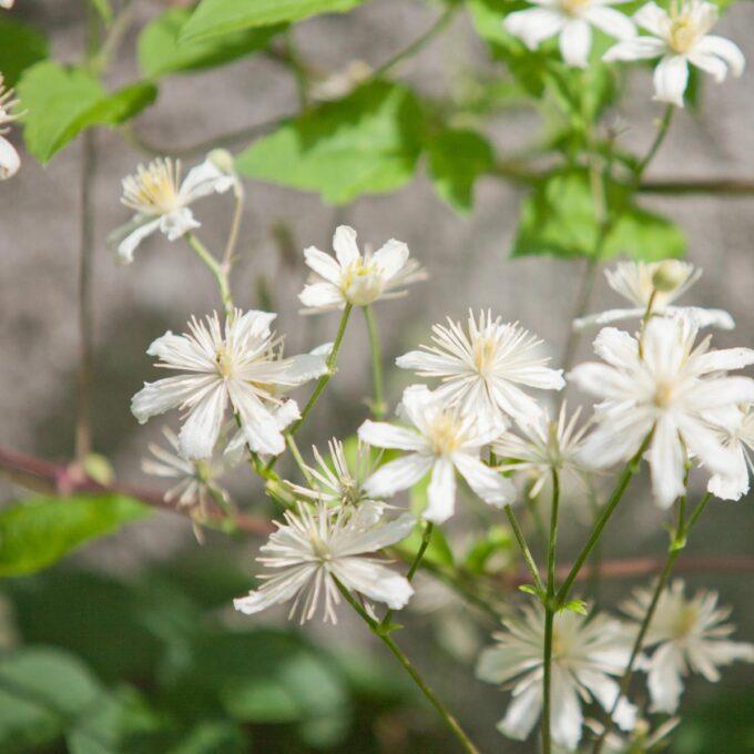 Tyskklematis blomstrer med hvite små blomster med gul midte. Kraftigvoksende klatreplante som kan dekke større areal p