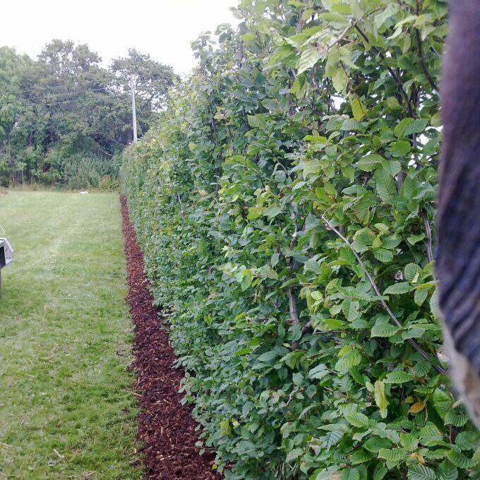 Agnbøk blir aller mest brukt til klipt hekk, og danner da en tett og fin omkransing av hager eller andre steder.