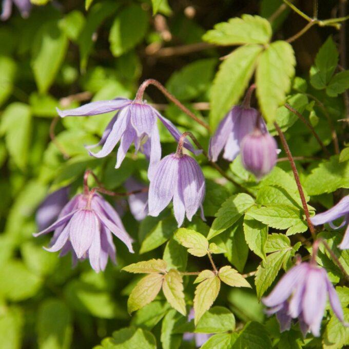 Blålilla, klokkeformede blomster fra mai til september.
