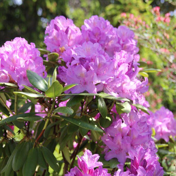 Lilla blomster i store klaser i mai-juni. Vid, kraftig vekst. Mørkegrønne dekorative blad. Humusrik, kalkfattig jord.