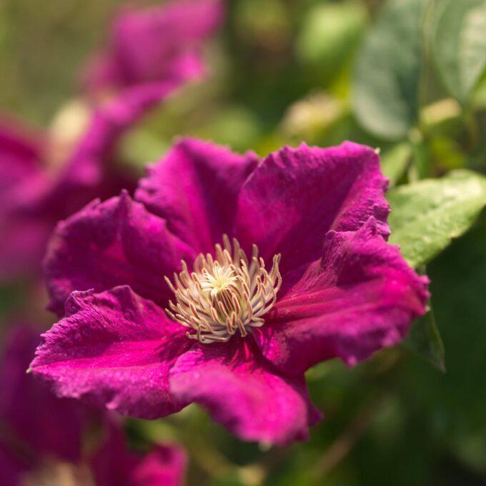 Klematis 'Ernest Markham' blomstrer med røde blomster fra juli til september.