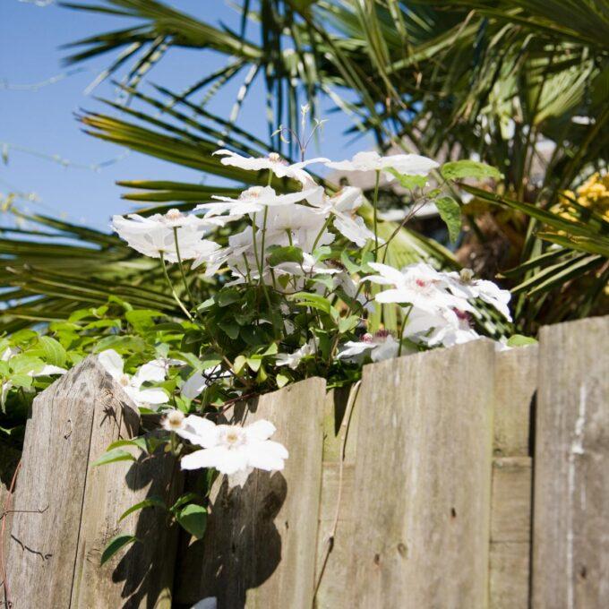 Klematis 'Miss Bateman' kan bli 1,8 - 2,4 m høy, og blomstrer med store hvite blomster i juni/juli. Visne kvister klippes sent på våren.