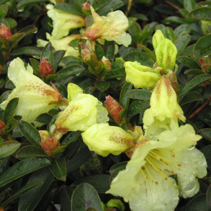 'Curlew' er en av få gode sorter med gulblomstrende rhododendron fin å plante i fjellhager i front av andre surjordsplanter.