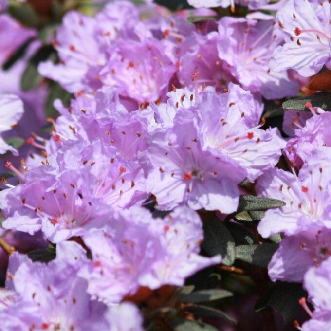 Høyde 40 cm. Kompakt plante med mørkt grønt bladverk. Blomstrer med stjerneforma, lilla blomster i mai/juni.