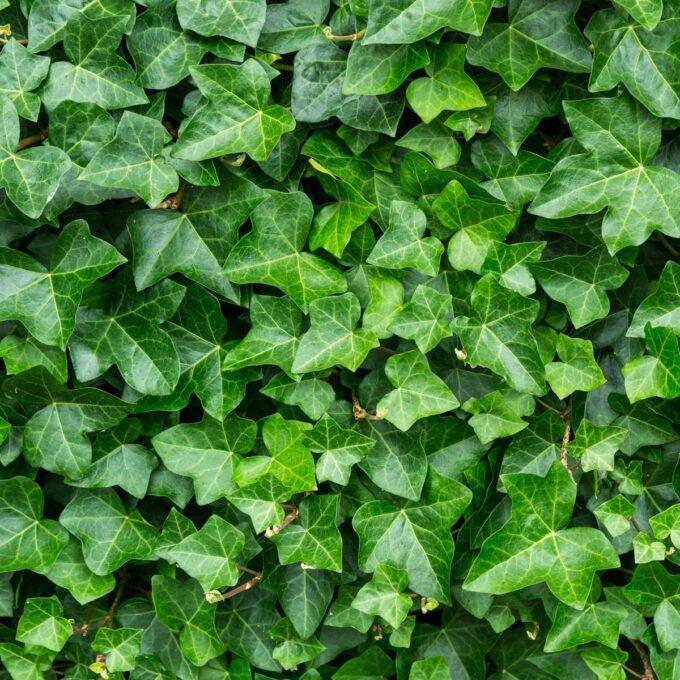 Irlandbergflette er en kraftigvoksende slyngplante som kan bli opp mot 15 meter høy.