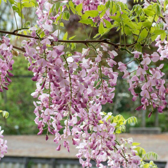 Vakker klatreplante må ha espalje, pergola å vokse på. Planten får lange frøbelger på ettersommeren, et solrikt og lunt sted