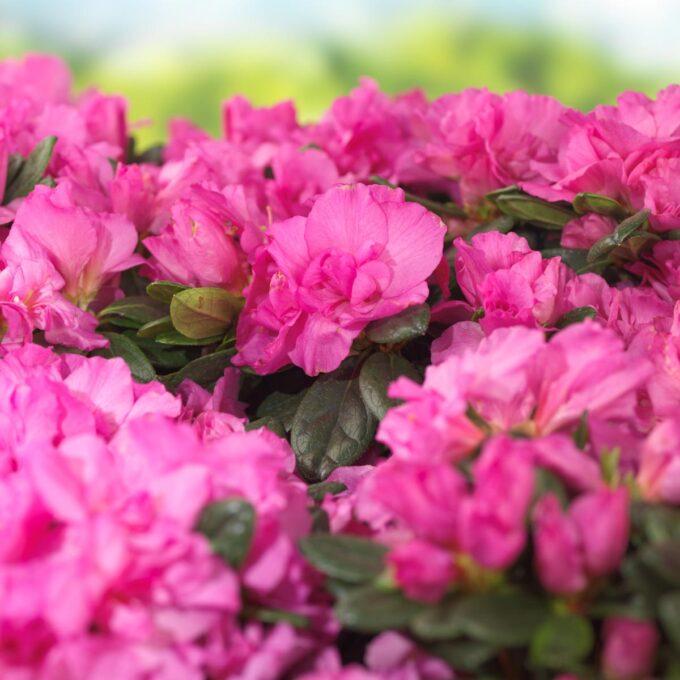 Høyde 50 cm. Intens lillarosa farge. God og tett vekst, lang blomstringstid.
