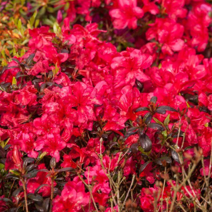 Høyde 50 cm. Blomstrer med karminrøde blomster på bar kvist. Røde blad om vinteren.