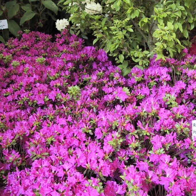 Høyde 60 cm. Blomstrer med karminrøde blomster på bar kvist. Røde blad om vinteren Plantes i sur jord på et lunt sted i hagen