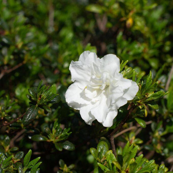 'Schneeperle' er en hvit japanrhododendron som blomstrer i mai-juni. Vakker blomstring mot et grønt, blankt bladverk.