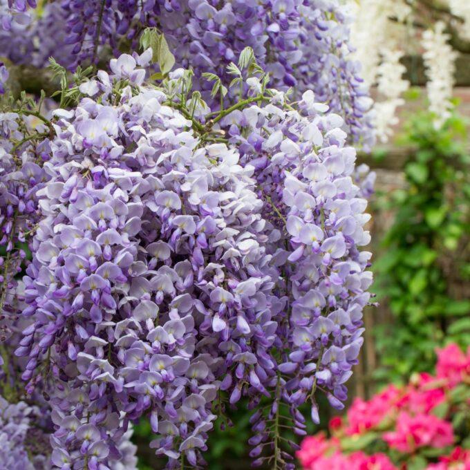 Kinablåregn er en vakker klatreplante med lange klaser med duftende blåfiolette blomster