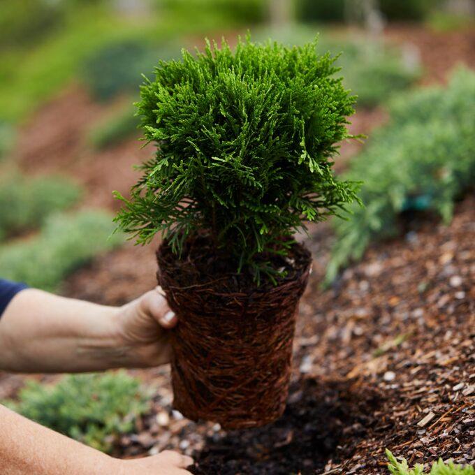 Kuletuja 'Danica' har en kuleformet og svært tett vekst. Den er sentvoksende, og danner flotte kuler som passer i en fjellhage, rabatter eller i en stor verandakasse.