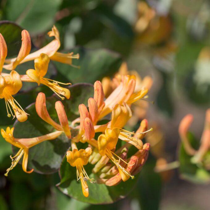 Tellmannkaprifol får orangegule blomstrer med sterk duft i juni.