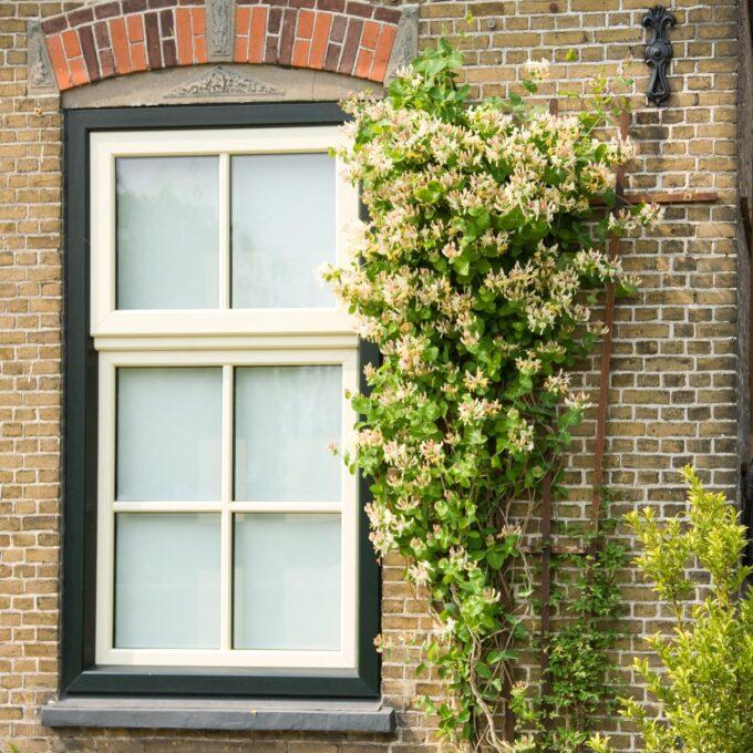 Villkaprifol kalles også Vivendel, Fin klatreplante som blomster med duftende lyst gule blomster i juni-september
