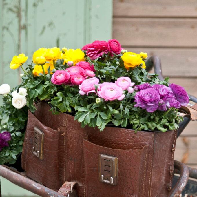 Ranunkel trives best med mye lys, og må ikke tørke ut. Blomstrer med store og fylte blomster i en rekke fargevarianter