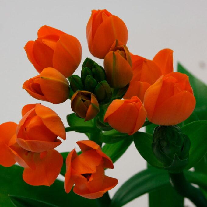 Vakker stueplante som har ekstrem lang blomstring. Tykke blader gjør at den tåler å tørke, og liker seg godt i vinduskarmen med mye sol.