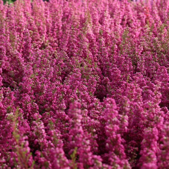Vårlyng Erica er en flerårig lyngplante som navnet sier, blomstrer på våren.