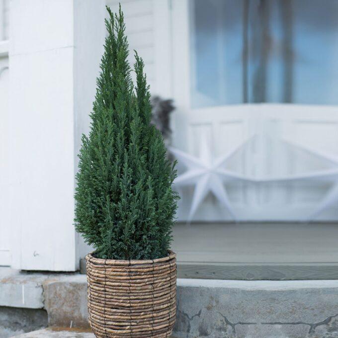 Lawsonsypress 'Ellwoodii' 60-80 cm
